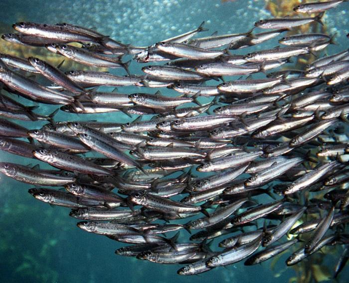 dieta dukande di sardine